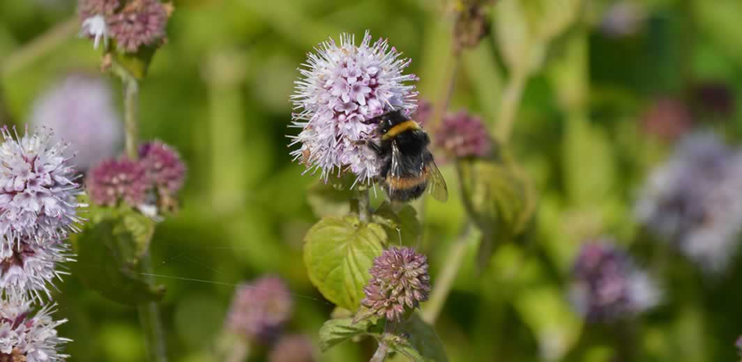 bumblebee on watermint