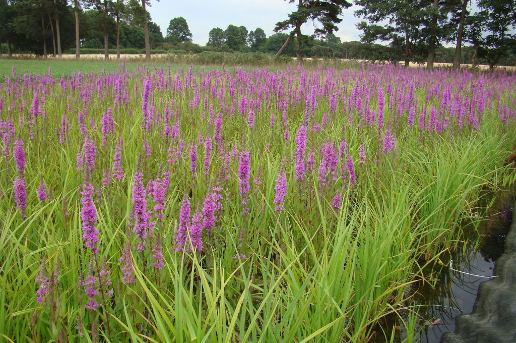 Purple Loosestrife flowering within Pre-Established Coir Pallets at Salix nursery