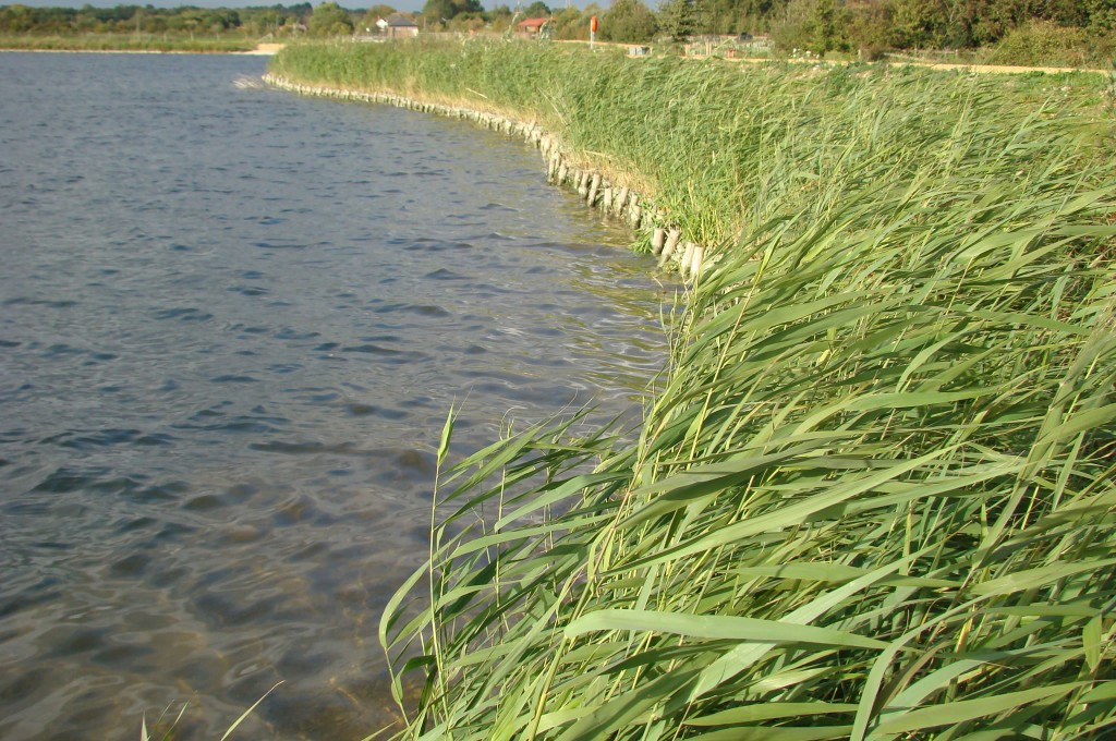 Reservoir shoreline 1 year later with excellent reed growth