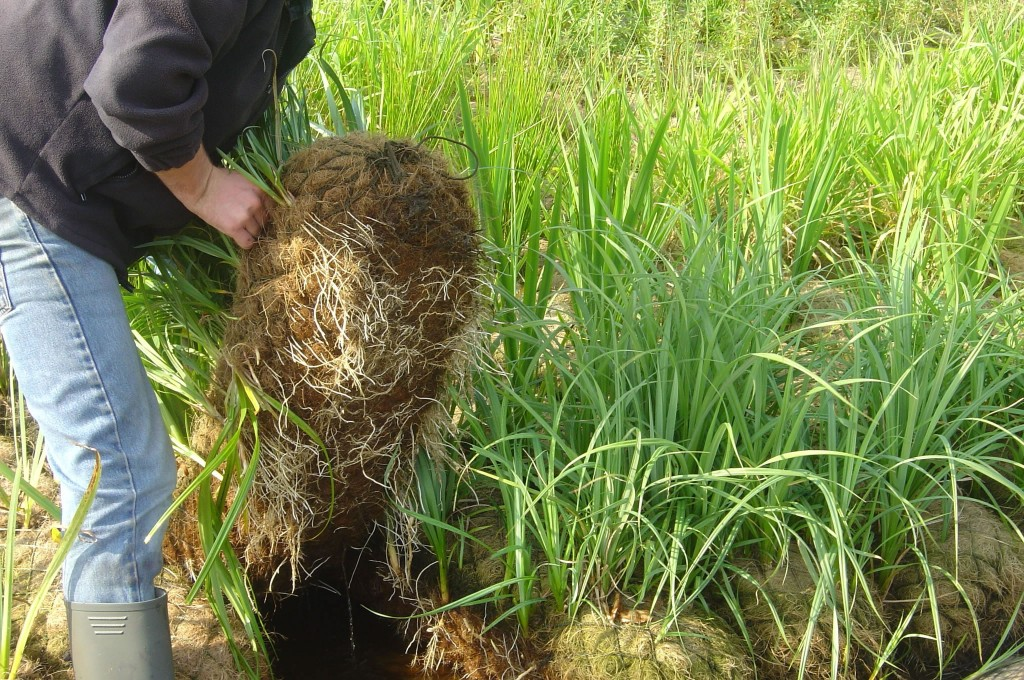 300mm Diameter Pre-Established Coir Roll lifted from wetland nursery bed