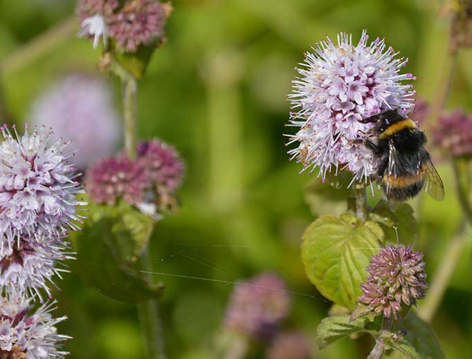 Bumblebee on watermint by David Holland