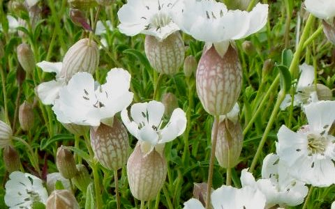 Silene uniflora- Sea campion